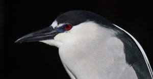 Black-crowned Night-Heron by: Ryan Zimmerling