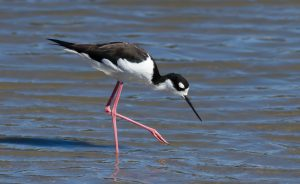 Black-necked Stilt by: Frank Schulenburg
