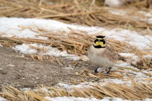 Horned Lark by:  Andrew Cannizzaro