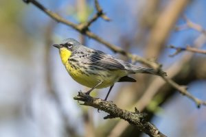 Kirtland's Warbler by: Andrew Cannizzaron