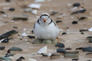 Piping Plover by: Christian Marcotte