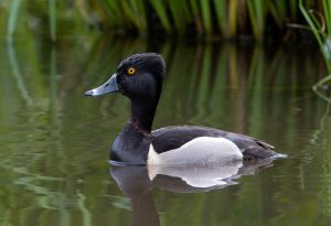 Ring-necked Duck by: Suzanne Labbé