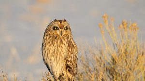 Short-eared Owl by: USFWS Mountain-Prairie