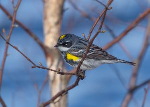 Yellow-rumped Warbler by: Garry Donaldson