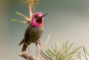 Colibri d'Anna : iStock/BirdImages