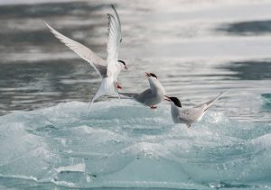 Artic Terns by: iStock/Pengranger
