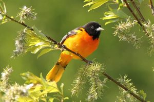 Baltimore Oriole by: Christian Marcotte