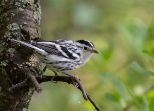 Black and white Warbler by: The Afternoon Birder