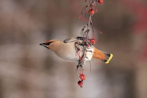Bohemian Waxwing by: Christian Marcotte