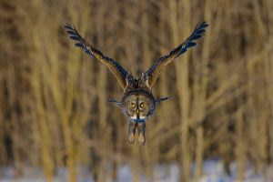 Great Gray Owl by: iStock/pchoui