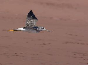 Greater Yellowlegs by: The Afternoon Birder