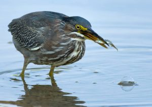Green Heron by: The Afternoon Birder