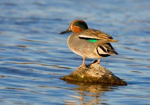Green-winged Teal by: iStock/Andyworks
