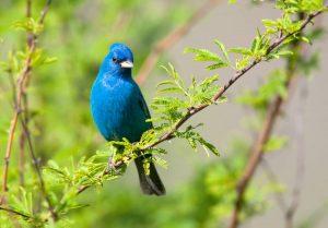Passerin indigo : iStock/BirdImages