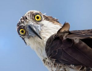 Osprey by: The Afternoon Birder