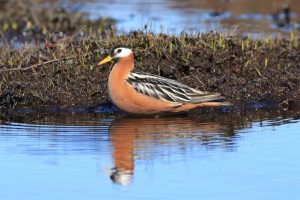 Red Phalarope by: Christian Marcotte