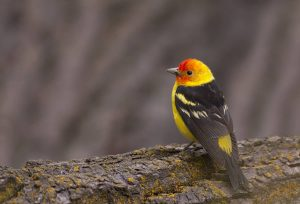 Western Tanager by: iStock/Silfox