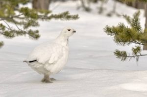 Willow Ptarmigan by: iStock/arcticswede